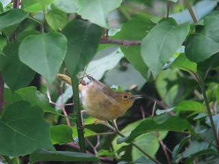 Setophaga aestiva / Reinita dorada / Yellow Warbler