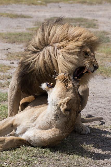 The Lover's Roar