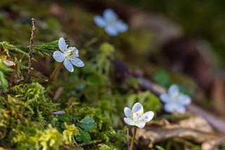 大菩薩嶺北斜面に咲くバイカオウレン2