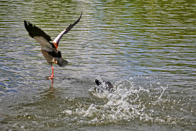 A little Coot is trying to cast out a much bigger Egyptian Goose, 4 of 5