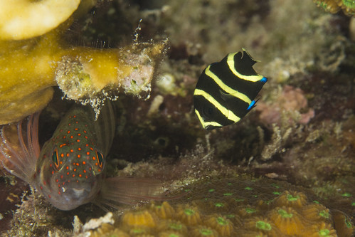 bonaire bonairesinteustatiusandsaba caribbean pomacanthusparu underwater color diverdoug fish frenchangelfish juvenileangelfish juvenilefish marine ocean reef sea spots stripes underwaterphotography