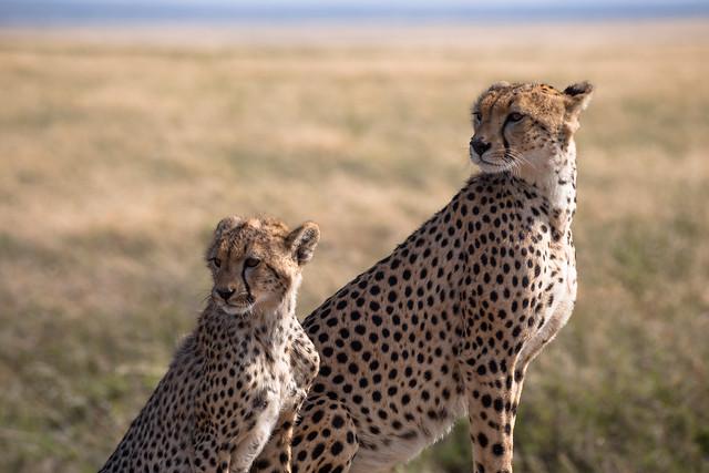 Mother and Child - Serengeti Cheetah