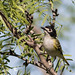 Black-capped vireo, Vireo atricapilla by ashleytisme