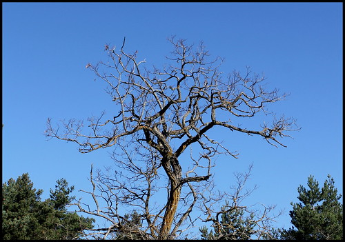 Fraxinus excelsior - frêne élevé, frêne commun 34022083420_c24899255f