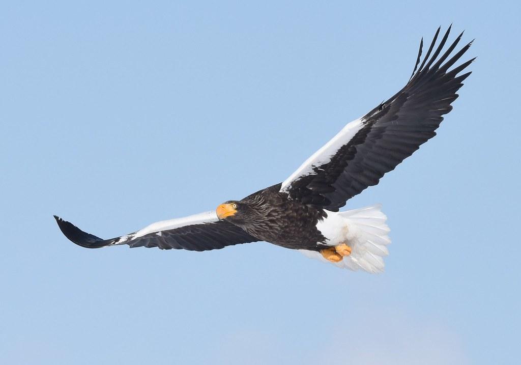 A Stellers sea eagle in flight (2)