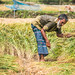 গ্রাম বাংলার কৃষক- A Village Farmer in Bangladesh