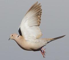 HolderCollared Dove in flight.