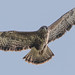 Buzzard  (Buteo buteo) by The Rustic Frog