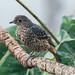 Blue Cotinga juvenile male (Ian Talboys)