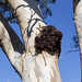 River Red Gum (Eucalyptus camaldulensis) trunk with deformity. by David Redfearn