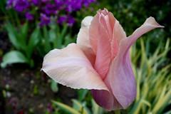 Lone, Pink Tulip