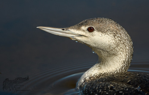 Red Throated Loon (non-breeding) 5_8
