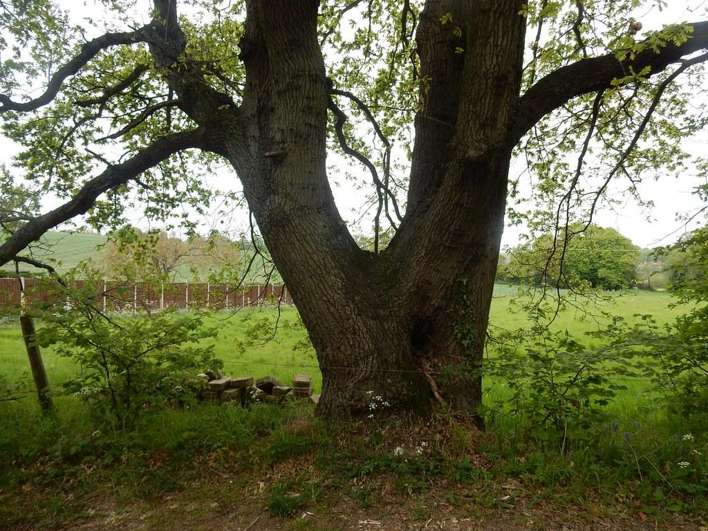 Bifurcate Tree Manningtree Circular