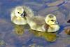 Canada Geese Goslings 17-0430-4042 by digitalmarbles