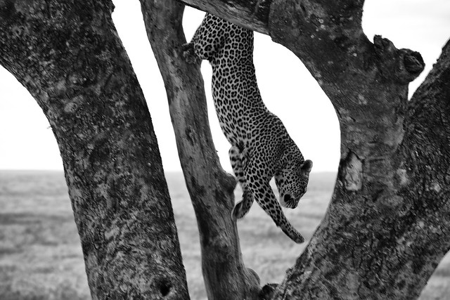 The Dismount - Leopard - Serengeti