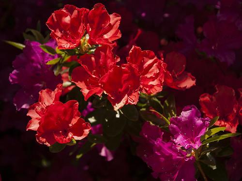 Azaleas in Linda Vista Gardens (kasiainwales)