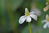 White Flower (Coneflower?)