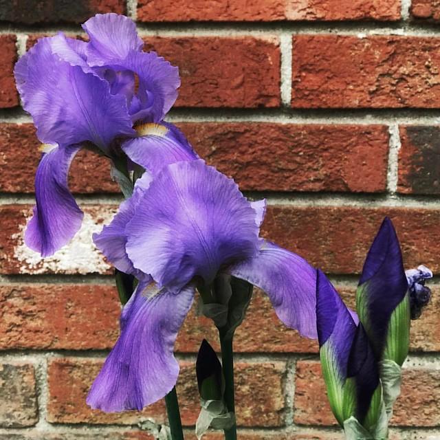 Irises #irises #flowers #buds #gardens #patiogarden