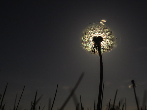 Dandelion head by the light of the moon