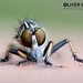 Portrait of a Robberfly by Oliver C Wright