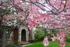 Pink Dogwood Blossom Faces