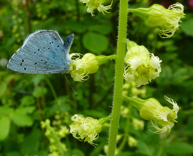 Holly Blue on Heucherella, Panasonic DMC-TZ25