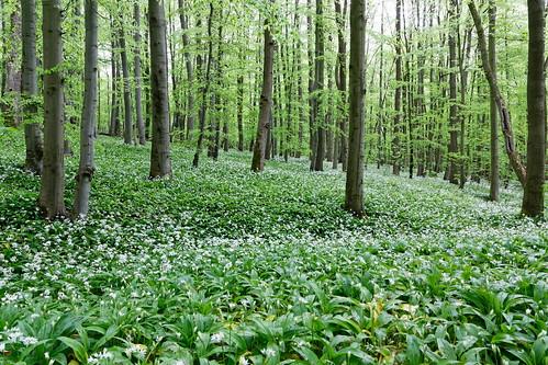 nationalpark hainich bärlauch wild garlic wald