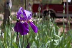 First Purple Iris in Front