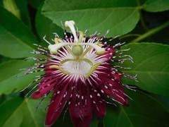 grenadine_Passiflora quadrangularis_DSCN0063_927
