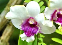 Orchid Cattleya