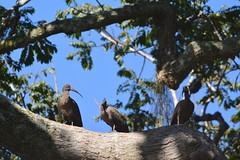 Entebbe, Uganda - Entebbe Botanical Gardens - Hadada (Hadeda) Ibises