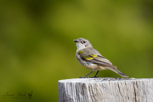 Young male Western Whistler