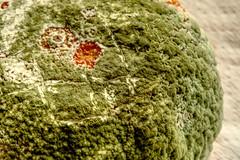 Penicillium digitatum - Green mold in orange