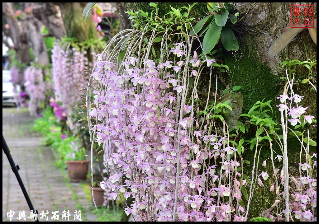 中興新村石斛蘭DSC_7907