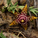 Orbea halipedicola