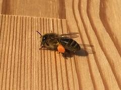 Pollen Sacks