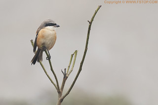 Long tailed shrike (Lanius schach)