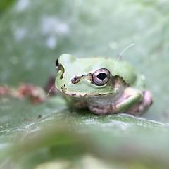 雨蛙 #JapaneseTreeFrog. #🐸 #TreeFrog #frog #7x #macro #olloclip