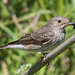 Spotted Flycatcher (Judith Rolfe)