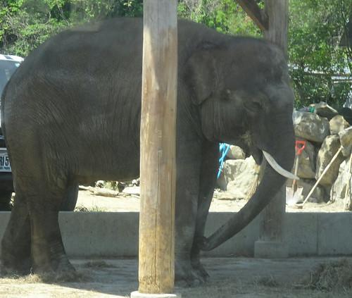 スマトラゾウ・群馬・象牙