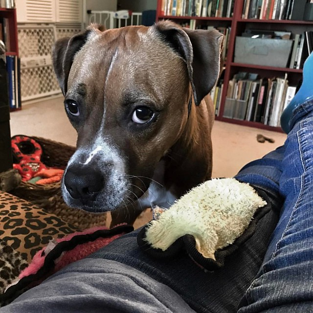 When you can't decide between your ducky and your piggy. #dogs #boxerdog