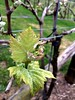 Pinot Noir grapes at Fenny Castle Vineyard by sarahstierch