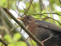 BLACKBIRD HAS SPOKEN LIKE THE FIRST BIRD
