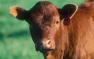 1 November 2016 - FWWFTA Portrait of a Beef Cow Standing in a Field