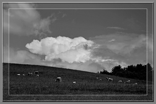 biltmoreestate lambs ewes clouds sky field pasture trees sheep ncmountainman nikon d3200 bw blackandwhite phixe