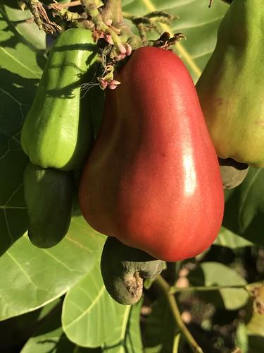 red yellow poisonous fruit nut seed cashew cashewnut cashewapple cashewtree
