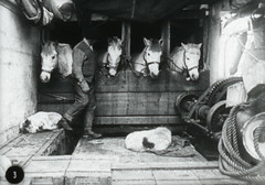 Horses on board the TERRA  NOVA