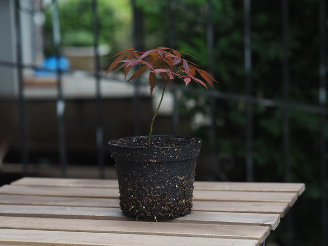 Japanese red maple sapling on an IKEA table