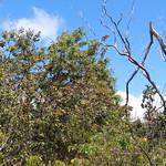 Santalum paniculatum regenerating in the Broomsedge Burn