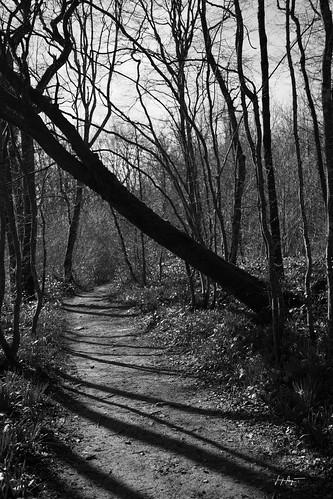 Sous bois, cueillette des jonquilles dans le Revermont   - Jura L'embûche. / D6_10510